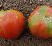 Virus Alerte rouge sur la tomate