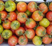 Nouveau virus de la tomate Comment identifier les plantes touchées